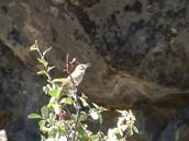 Sequoia Audubon presents a great birding by ear opportunity!