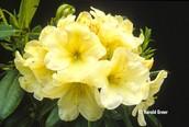 Light Yellow Flowers