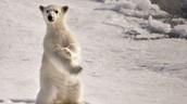 דוב קוטב בארקטיקה