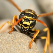 European Paper Wasp Habitat, Dispersal And History