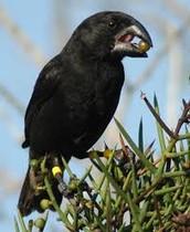 Finches Beaks