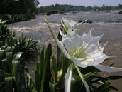 Spring Shoal Lily Float