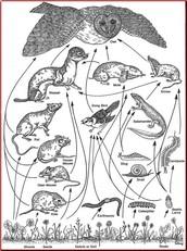 An owl's food web