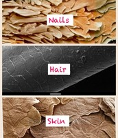 A microscopic look at the hair skin and nails.