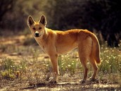 The Austalian Dingo