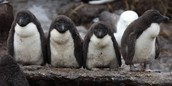 Rockhopper penguin chicks come in the colors gray, black, and white.