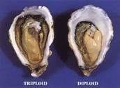The difference between a diploid and triploid cell used during meiosis.