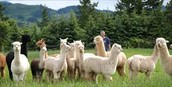 properly maintained alpaca ranch.