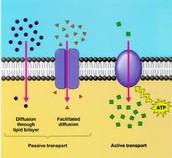 protein pumps