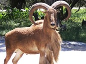 The Aoudad is currently residing in preserves in New Mexico, Texas, and California