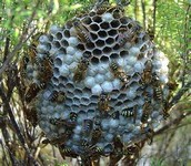 picture of the European Paper wasp's nest