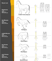 A hoof evolutionary diagram.