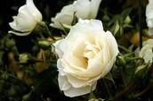 White rosa