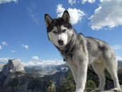 This is a Siberian Husky.