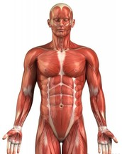 What are the factors that affect muscular strength?