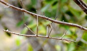 Walking Stick or Phasmatodea