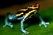 Poison Dart Frog (Dendrobatidae)