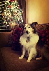 Introducing Comfort Dog Lila Belle!
