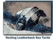 A Nesting Leatherback