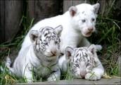 favirote tiger