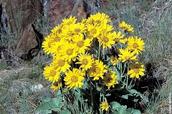 Bear Grass latin name Xerophyllum tenax