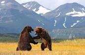 Browns Bears