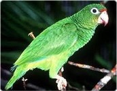 The Puerto Rican Parrot