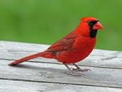 Indiana State Bird