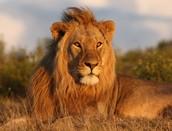 where do lions live ?
