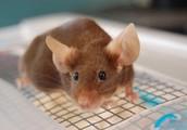 Brown Mouse; Plaintiff