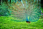 Peafowl's