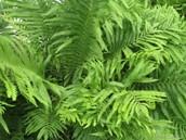 Ground Ferns