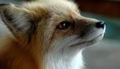 Sierra Red Fox