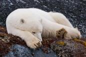 A polar bear resting.