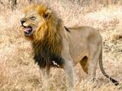 Lion of Botswana