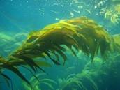 Kelp: Laminariales