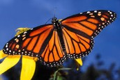 Characteristics of the Monarch Butterfly