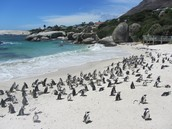 Penguins at Boulders Bay
