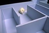 Algernon in Maze