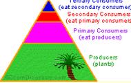 Rainforest food chain (Basic)