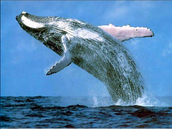 The blue whale jump out the water