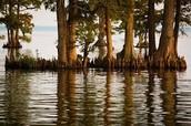 Edenton Bay cypress trees