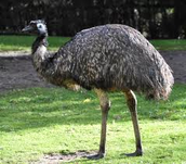 An Emus Body