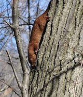 A Mink Climbing A Tree