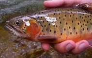 The Greenback Cutthroat Trout