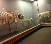 Yo vi los esqueletos en el museo de Historia Natural.