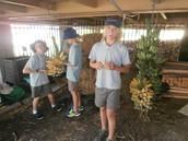 Harvesting the ripe banana's