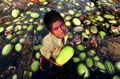 A boy collects rotten watermelon on the river Buriganga in Dhaka.