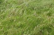 Common Finger Grass