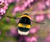 Flight Of The Bumblebee by Nikolai Rimsky-Korshav
